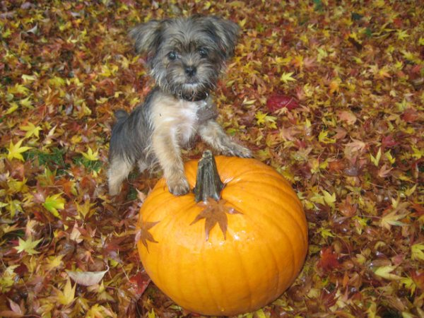 We don't really observe the secular Halloween on our sites, but we're always up for a pup on a pumpkin.