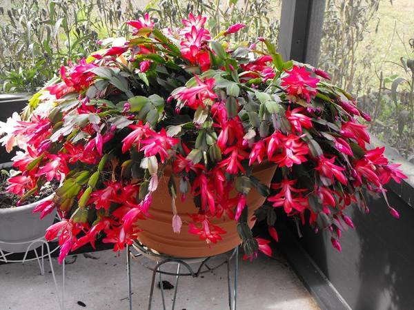 Christmas cactus (The Humble Gardener)