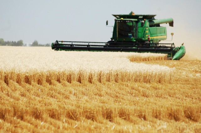 Harvesting wheat: the staple grain varies from one society to another, but no one gets bread until the harvest takes place. (ehmkeseed.com)
