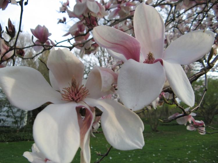Magnolia blossom (artist unknown)