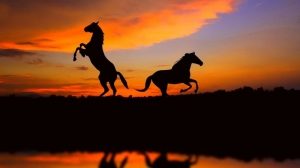 Horses rejoicing at sunset (source unknown)