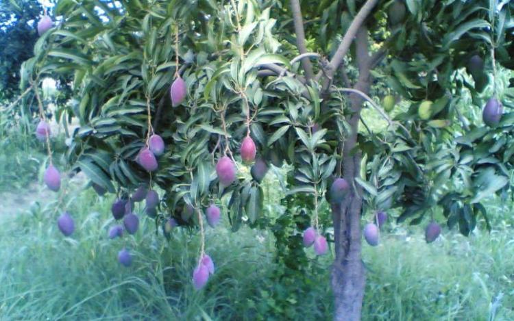 For joy in God's creation: a mango tree in Pakistan. (Wikipedia)