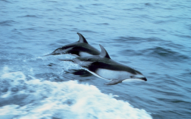 Pacific white-sided dolphins, bless ye the Lord! (Capt. Budd Christman, U.S. National Oceanic and Atmospheric Administration)
