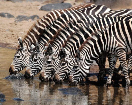 Get ready, we're about to thank God for zebras. (Photographer unknown)