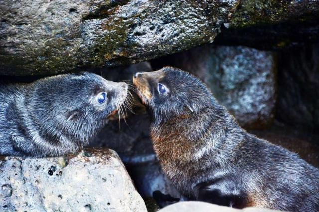 Dual fur seals, bless ye the Lord: praise him and magnify him for ever. (Parks Victoria, Australia)