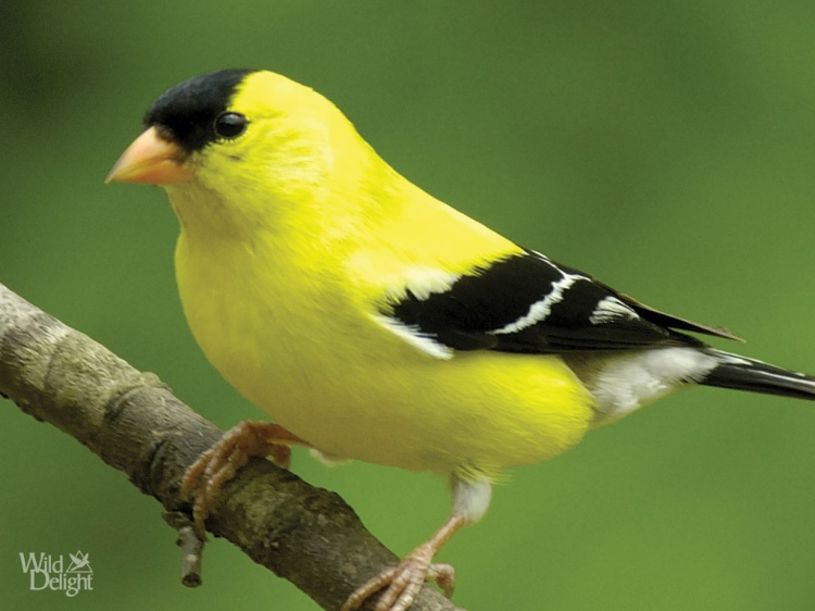 O robins and goldfinches, glorify the Lord: an American goldfinch. (WildDelight.com)