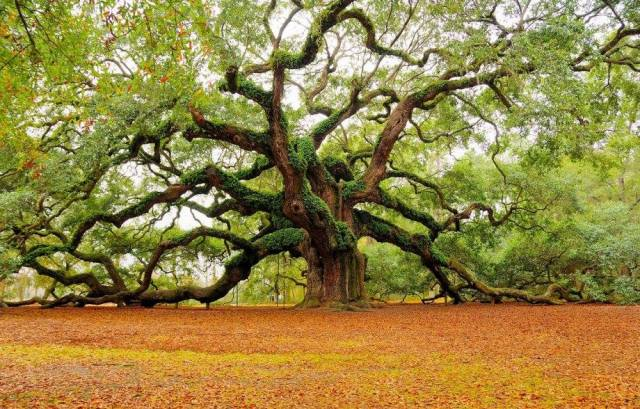 The Angel Oak tree, a live oak said to be 400 to 1400 years old, in a park built around it on Johns Island near Charleston, South Carolina. (photo: Caring for Trees)