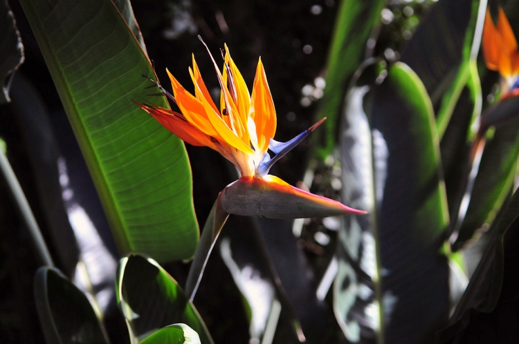 For the beauty of the earth: bird of paradise, Longwood Gardens, Pennsylvania (Wikipedia)