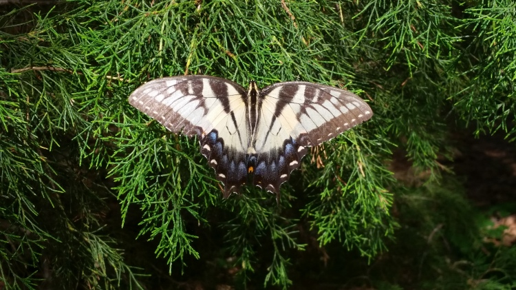 Butterfly at Camp Bratton-Green, Mississippi (Tom Welch)