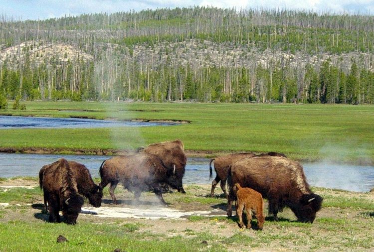For joy in God's creation: American bison at a hot spring, Yellowstone National Park, Idaho-Montana-Wyoming. There are an estimated 10,000 thermal features in the park. (Daniel Mayer)