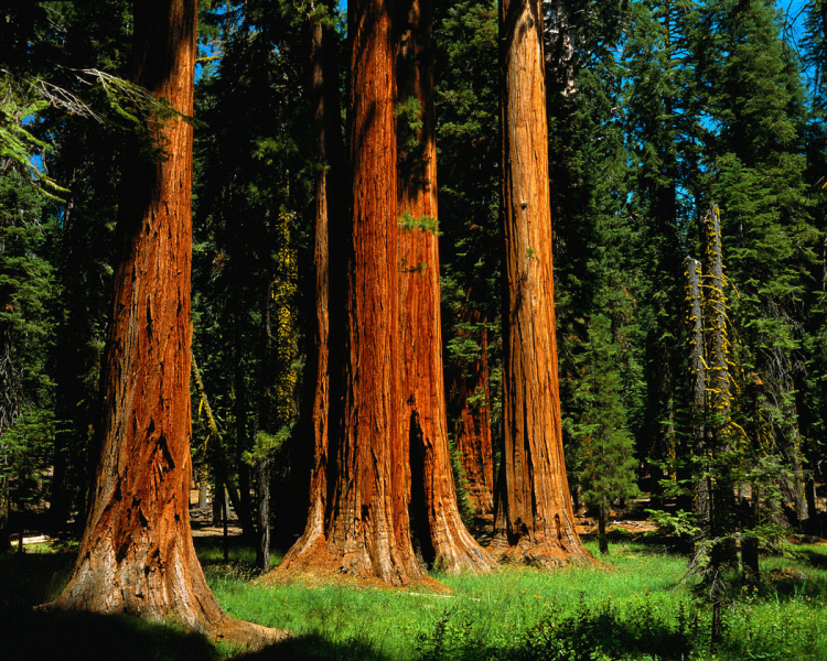 California redwoods (calegacy.org)
