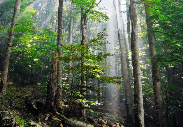 For the beauty of the Earth: old growth beech forest in Montenegro. (Snezana Trifunovic)