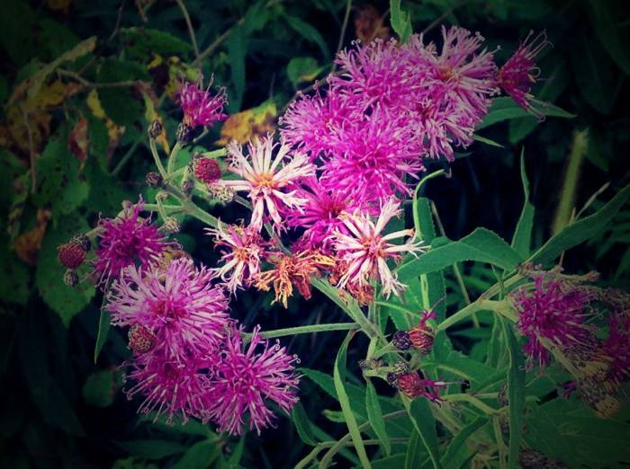 For joy in God's creation: ironweed in Missouri (Maria L. Evans)