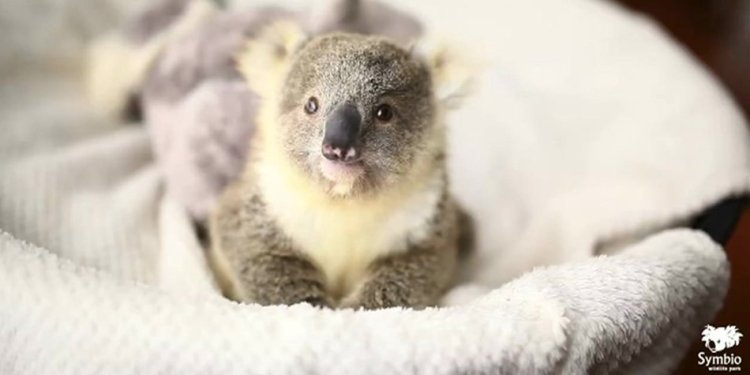 A baby koala had its picture taken for the first time Wednesday, and BBC Australia raced to post this on Twitter.
