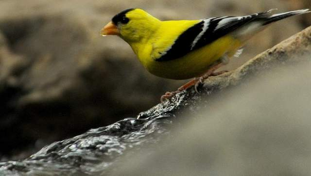 American goldfinch, sing praise and give honor for ever! (Greg Griffo/The Indianapolis Star)