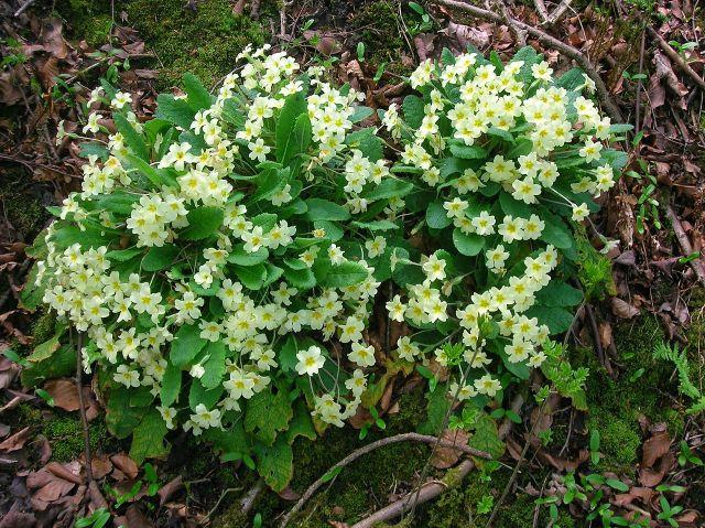 For the beauty of the Earth: primroses, Lynn Glen, Ayrshire, Scotland.