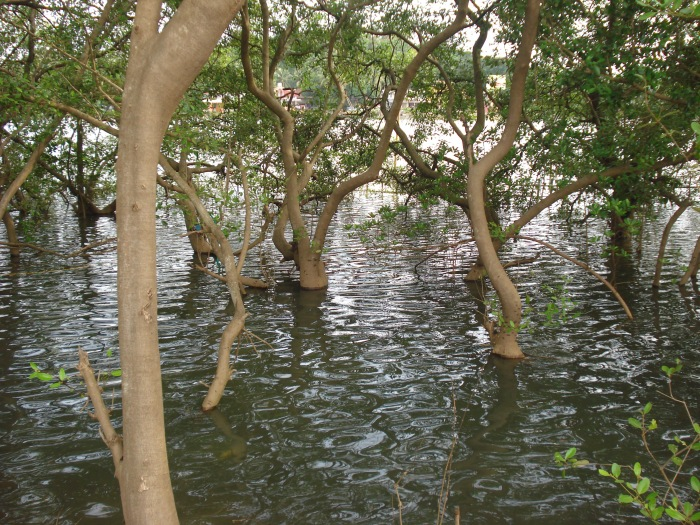 For the beauty of the Earth: Mangrove Park, Kannur, Kerala, India. (Wikipedia)