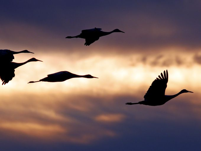 For the beauty of the Earth: sandhill cranes at Jasper-Pulaski Wildlife Area, Indiana, during their migration last fall from Alaska to Florida. (Mark Wright)