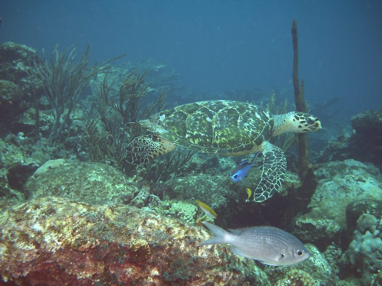 For the beauty of the Earth: hawksbill sea turtle, Morrocoy National Park, Venezuela.