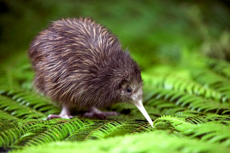 A brown kiwi. (adjectivespecies.com)