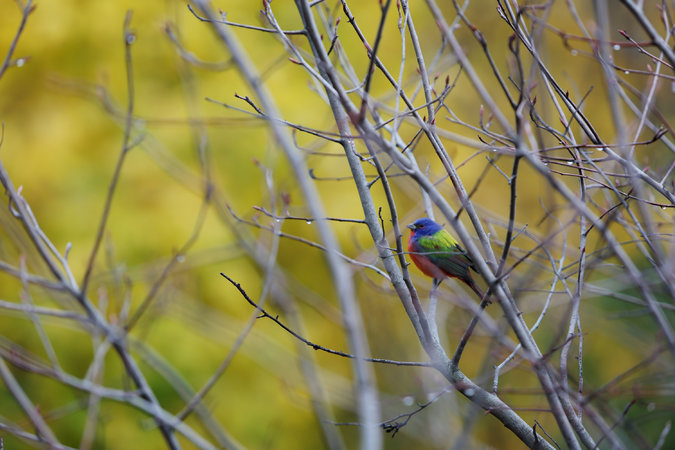 For joy in God's creation: male painted bunting in Prospect Park, Brooklyn, New York. (Kirsten Luce/The New York Times)