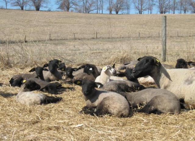 For joy in God's creation: young lambs with their babysitter. (Royer Family Farm, Indiana)