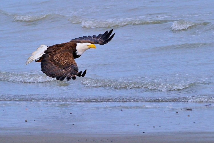 For joy in God's creation: a bald eagle. (source unknown)
