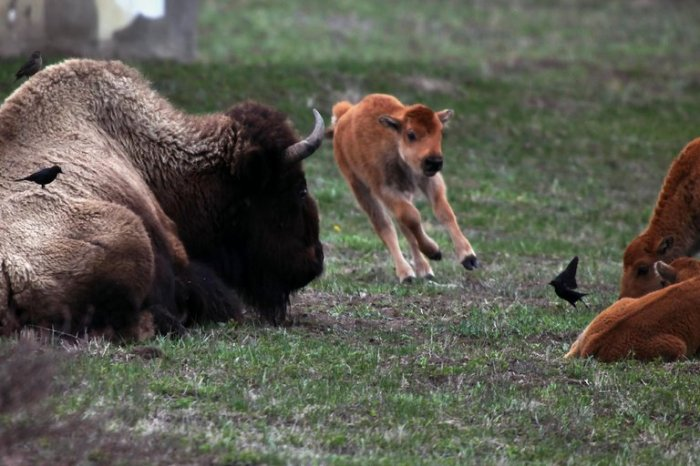 For joy in God's creation: American bison and calf (Nicole Bengiveno/The New York Times)