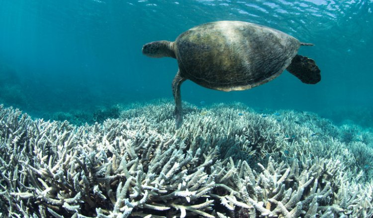 Now comes word that a UNESCO report on climate change is missing a whole chapter on Australia, censored by the government to minimize publicity about calamitous bleaching of the Great Barrier Reef so as not to hurt tourism - while pursuing a big new coal project. It's hard to watch your friends go insane. (XL Catlin Seaview Survey)