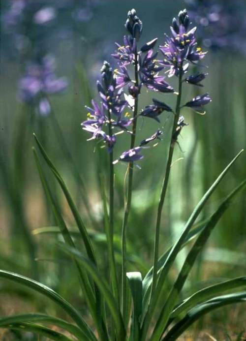 For joy in God's creation: Indian camas. It's edible, a member of the asparagus family, prized by some American Indians for its medicinal properties. (William and Wilma Follette)