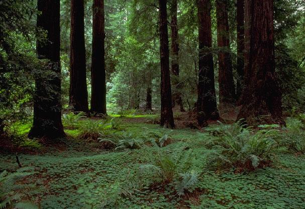 Muir Woods National Monument, California (Wikipedia)