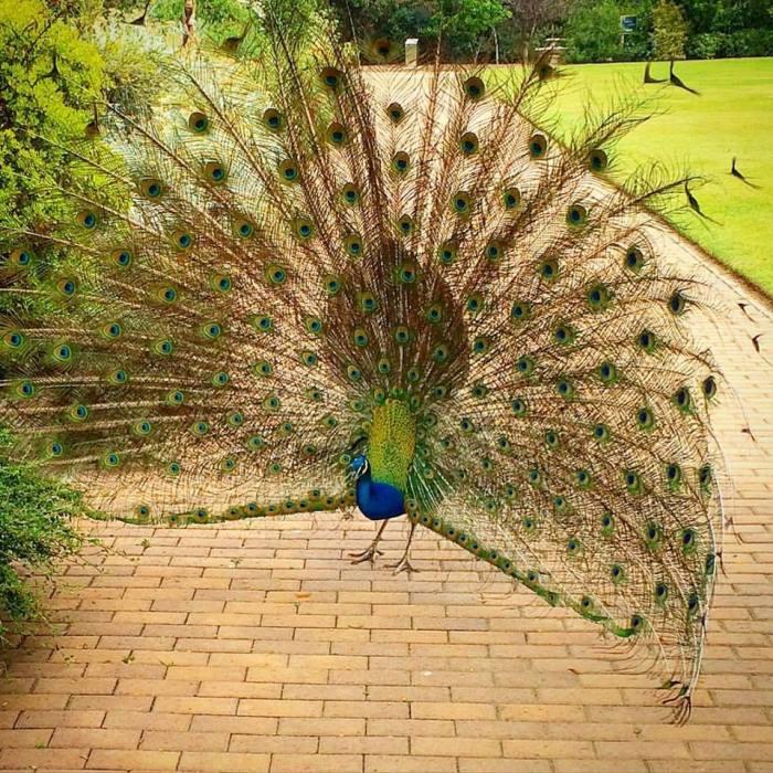 Peacock, Los Angeles Arboretum, two days ago. (Tim Hawks-Malczynski)