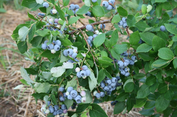 Where I live, it will be another month before the blueberry bushes sing praise and give honor for ever - and I am hoping they will be in good voice this year. (source unknown)