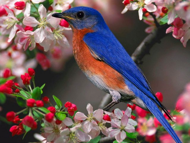 For joy in God's creation: bluebird ready for his close-up. (funpeep.com)