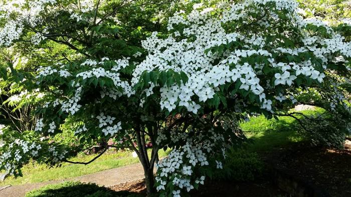 For joy in God's creation: dogwood trees in bloom last Sunday at the Church of the Nativity, Indianapolis. (John E. Ridder)