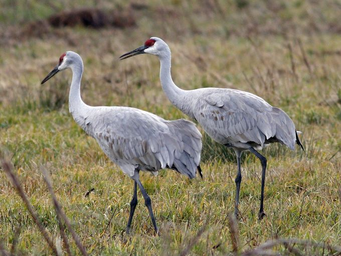 A pair of sandhill cranes; this species is famous for its mating dance, but once paired, they are monogamous. Sing praise and give honour!