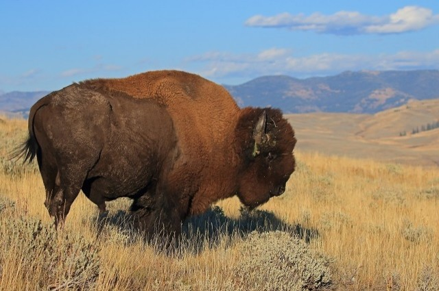 For the beauty of the Earth: American bison, Yellowstone National Park (Matthew Sorum)