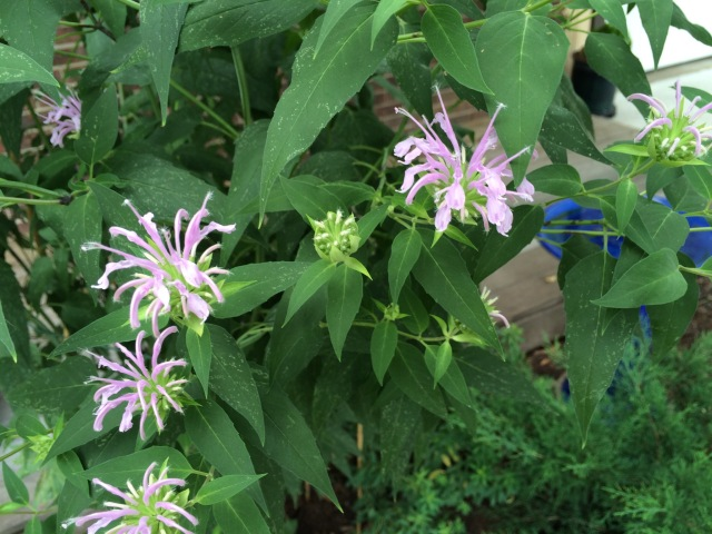 Bee balm, now blooming in Missouri. The little buzzers will love you for it. (Beverly Van Horne)
