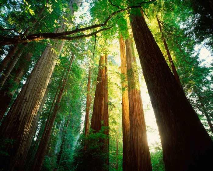 California redwoods (Joshua Simpson)