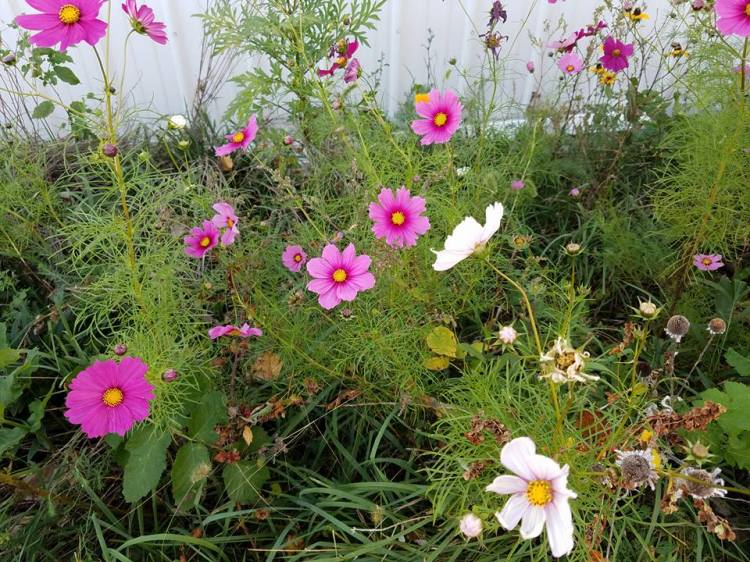 A profusion of cosmos on a farm in Missouri. (Maria L. Evans)