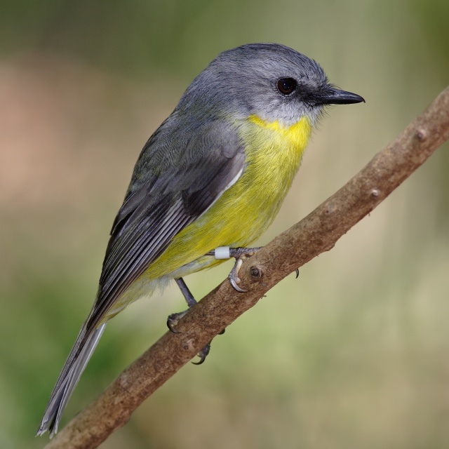 For joy in God's creation: Eastern yellow robin. This bird ranges from South Australia through Queensland and part of New South Wales; it hunts insects by perching, then pouncing. (Wikipedia)
