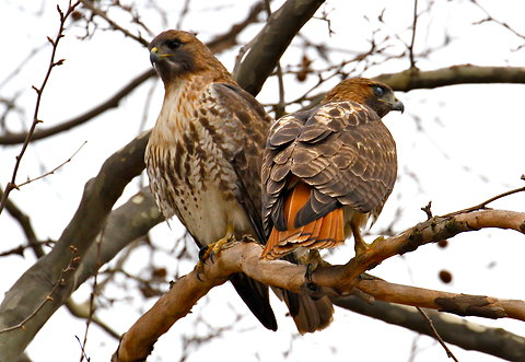 For the beauty of the Earth: red-tailed hawks at Washington Square Park, New York City, 2012. (Jean Shum)