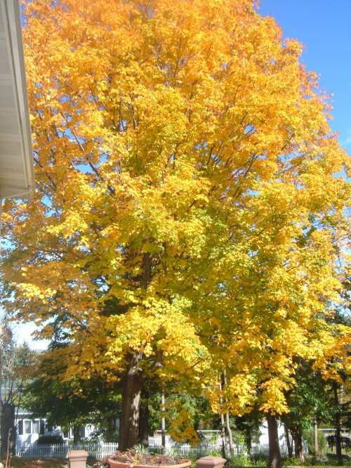 Backyard maple tree, Watkins Glen, New York. (The Rev. Michael Hartney)