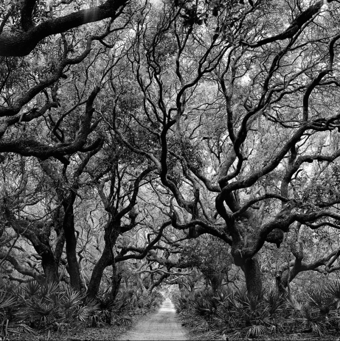 Trees on Cumberland Island, Georgia, 1991. (Rodney Smith)