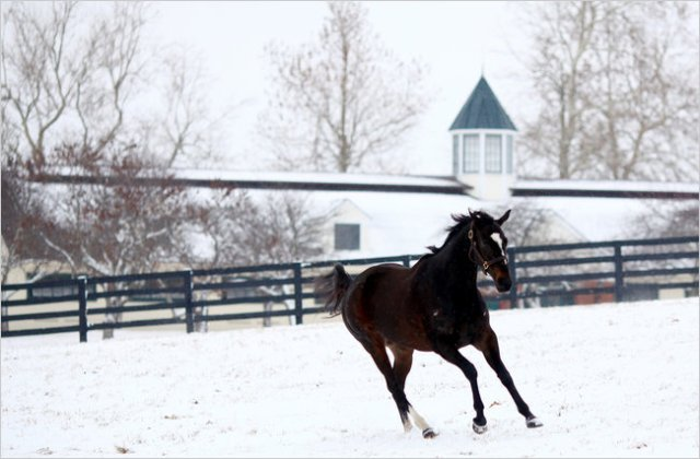 For joy in God's creation: Zenyatta, a record-breaking thoroughbred mare and winner of the Breeder's Cup, frolicking in the snow in bluegrass country, Kentucky. (source unknown)