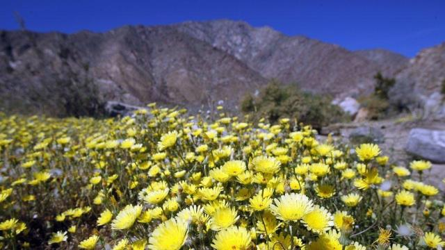 Unexpected rain in Southern California this year will probably lead to an abundance of desert wildflowers this spring, according to the Los Angeles Times.