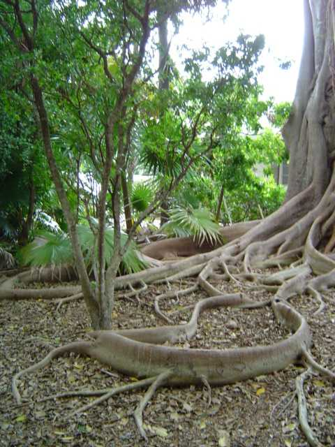 For the beauty of the Earth: roots of the ficus tree we saw this morning at St. Columba's, Marathon, Florida. (The Rev. Michael Hartney)
