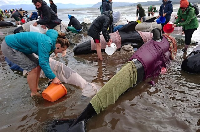 """Volunteers at Golden Bay wrapped the whales in wet towels and kept them hydrated, which allows them to survive a few days until they can be coaxed back into the water. Biologists say the pilot whales are so devoted to their """"pod"""" that when one or two wander off and get in trouble near the shore or trapped in a bay, the others come rushing to help - and get stranded by the ebbing tide. (Ross Wearing/Reuters)"""